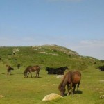 Dartmoor Ponies near the holiday cottage