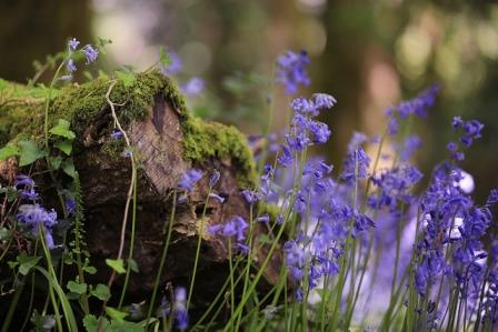 Bluebells in the woods nearby this Dartmoor Holiday Home