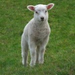 Spring lambs roaming free on Dartmoor