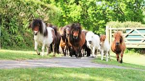 The Miniature Pony Centre is a great family day out whilst holidaying at our Dartmoor self catering accommodation