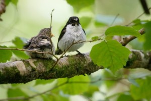 Rare Pied Flycatchers breeding at Lydford Gorge just 27 miles from Three Pound Cottage the self catering Dartmoor Holiday Rental